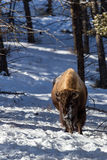 Yellowstone Bison Stock Images