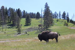 Yellowstone bison. Yellowstone National Park where buffalo bison roam Royalty Free Stock Photos