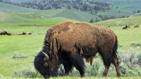 Yellowstone Bison Stock Photography