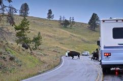 Yellowstone bison som korsar vägen Royaltyfri Bild