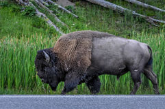 Yellowstone Bison. A bison in Yellowstone walking down the side of the road Royalty Free Stock Photo