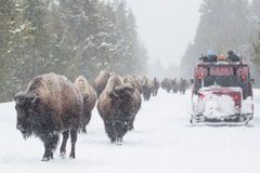 Yellowstone bison in the winter roads Royalty Free Stock Images