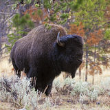 Yellowstone Bison closeup of large bull Royalty Free Stock Image