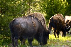 Yellowstone Bisons Royalty Free Stock Photography