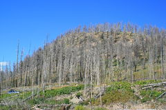 Yellowstone brannte Wald lizenzfreie stockfotos