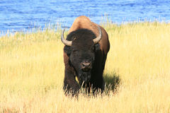 Yellowstone Buffalo Royalty Free Stock Image