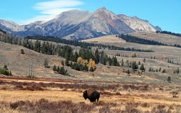 Yellowstone Buffalo Royalty Free Stock Images