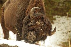 Yellowstone Buffalo. An American Bison scratching his chin while surrounded by snow in Yellowstone National Park Stock Photography