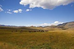 Yellowstone Buffalo herd Royalty Free Stock Photography