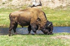 Yellowstone Buffalo. Large male buffalo grazing in Yellowstone National Park Stock Images