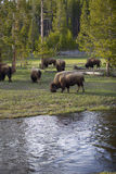 Yellowstone Buffalos Stock Photography