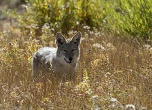 A coyote hunts in the wilderness of Yellowstone Park. The Yellowstone coyote enjoyed a population boom when the wolf population declined in Yellowstone National Royalty Free Stock Photography