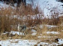 Yellowstone Coyote Royalty Free Stock Photo