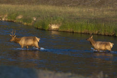 Yellowstone deer male and female. Deer family in the sunset gold sun Stock Images