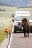 Yellowstone djurliv Royaltyfri Bild