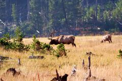 Yellowstone Elk. Elk grazing in Yellowstone Park royalty free stock photo