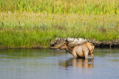 Yellowstone Elk Stock Photo