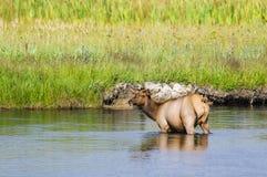 Yellowstone Elk Royalty Free Stock Photo