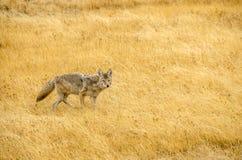 Yellowstone kojot Zdjęcie Royalty Free