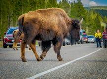 YELLOWSTONE MONTANA, USA MAY 24, 2018: Utomhus- sikt av den amerikanska bisonen som korsar vägen i den Yelowstone nationalparken arkivfoton