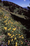 Yellowstone National Park. A flower view of Mount Washburn, in Yellowstone National Park royalty free stock image