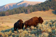 Yellowstone National Park American Bison. This bull bison in grazing in the grasslands in Yellowstone national park stock image