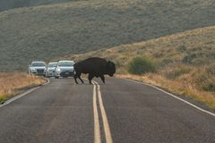 Buffalo Holds Up Traffic as it Crosses Road royalty free stock photo