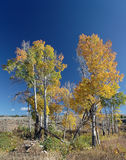 Yellowstone National Park: Birches. In Back Light Royalty Free Stock Photo