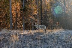 YELLOWSTONE NATIONAL PARK COYOTE WILD royalty free stock photography