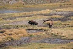 Yellowstone National Park - Grazing Buffalo Stock Photo
