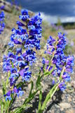 Yellowstone National Park penstemon Stock Photography
