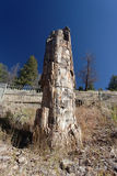Yellowstone National Park: Petrified tree. With blue skies Royalty Free Stock Images