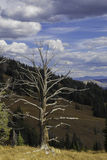Yellowstone National Park - single tree. Northern Yellowstone -single tree overlooking the Yellowstone valley royalty free stock image
