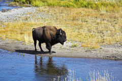 In Yellowstone national park in USA Royalty Free Stock Photo