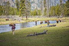 Yellowstone National Park, USA - May 17, 2016: Tourists getting too dangerously close to bison with the view on river and meadows Stock Photo