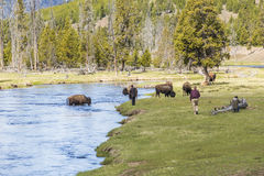 Yellowstone National Park, USA - May 17, 2016: Tourists getting too dangerously close to bison with the view on river and meadows Royalty Free Stock Images