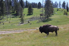 Yellowstone. National Park where bison roam Royalty Free Stock Image