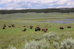 Yellowstone. National Park where bison roam Stock Photography