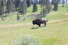 Yellowstone National Park. Where bison roam Stock Image