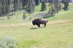 Yellowstone National Park. Where buffalo roam Stock Images