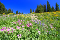 Yellowstone National Park Wildflowers Royalty Free Stock Image