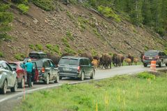 YELLOWSTONE NATIONAL PARK, WYOMING, USA - JUNE 19, 2018: Bisons in Yellowstone. Jam on the highway due to the presence of bison. stock image