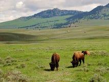 Yellowstone nationalpark, betande buffel arkivbilder