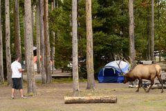 YELLOWSTONE NATIONALPARK, WYOMING, USA - AUGUSTI 23, 2017: Manligt turist- gå in mot en manlig tjurälg Arkivfoton