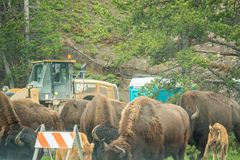 YELLOWSTONE NATIONALPARK, WYOMING, USA - JUNI 19, 2018: Bisonar i Yellowstone Driftstopp på huvudvägen tack vare närvaron av biso arkivbilder