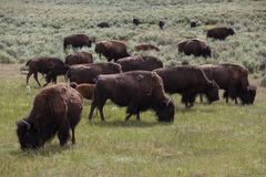 Yellowstone Park bison Royalty Free Stock Photo