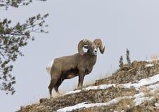 Yellowstone Park Wyoming. Winter Snow Big Horn Sheep Stock Photo