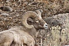 Yellowstone Park Wyoming. Winter Snow Big Horn Sheep Stock Photos
