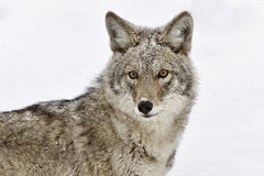 Yellowstone Park Wyoming. Winter Snow coyote Royalty Free Stock Images