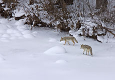 Yellowstone Park Wyoming r Snow coyote. Yellowstone Park Wyoming Winter Snow coyote Royalty Free Stock Images